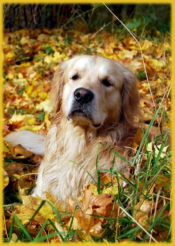 Золотистый ретривер и осень